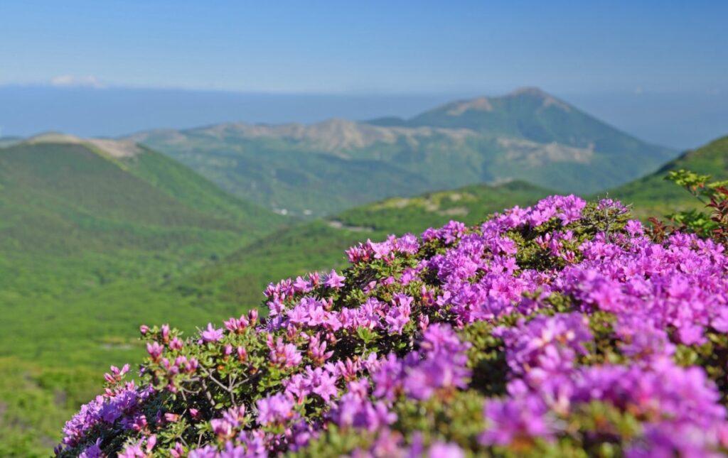 中岳のミヤマキリシマ